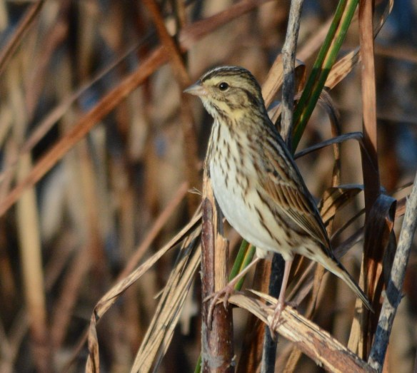Savannah Sparrow 2017-100