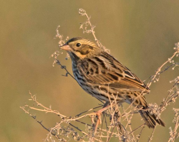 Savannah Sparrow 2017-6