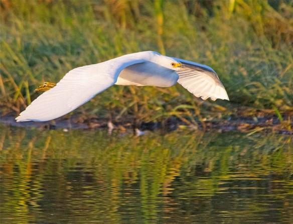 Snowy Egret 2017-74