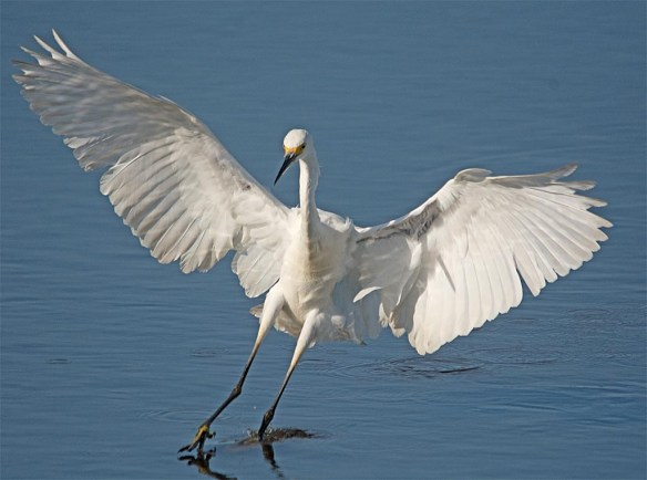 Snowy Egret 2017-79