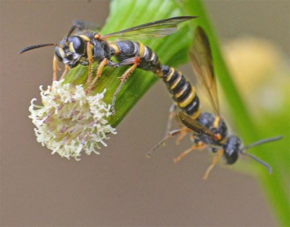 Wasp 41