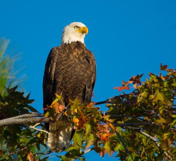 Bald Eagle 2017-179