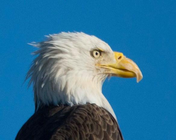 Bald Eagle 2017-181
