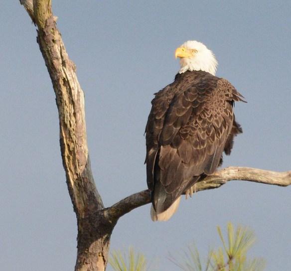 Bald Eagle 2017-184