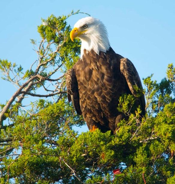 Bald Eagle 2017-192