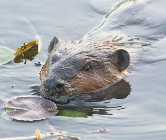 Beaver 127
