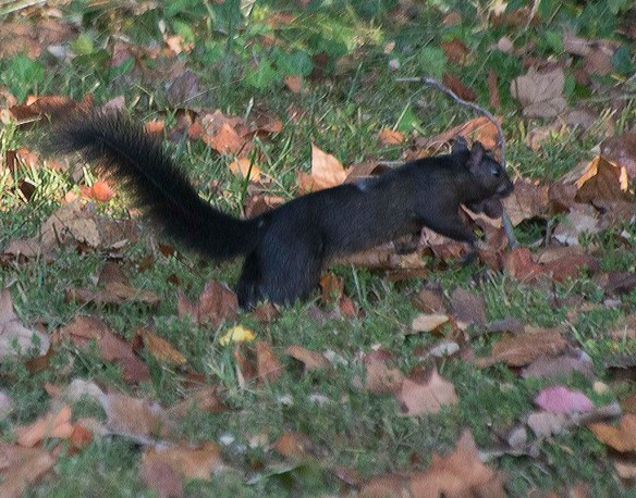 Black Squirrel 2