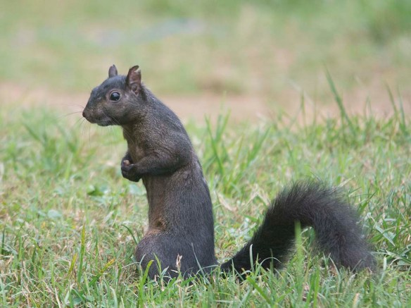 Black Squirrel 3