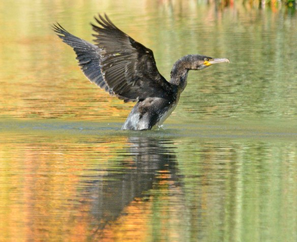 Double Crested Cormorant 2017-109