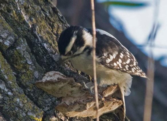 Downy Woodpecker 2017-4