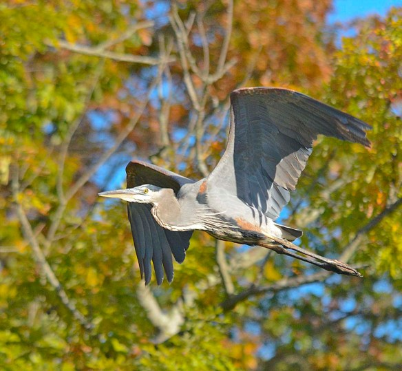 Great Blue Heron 2017-114