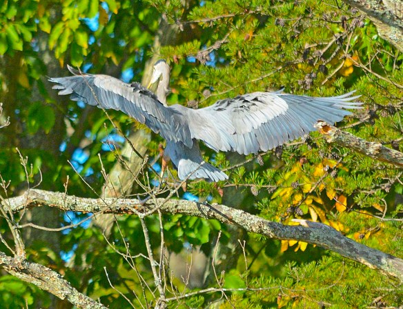Great Blue Heron 2017-117