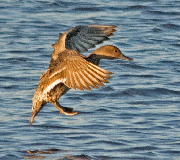 Green Winged Teal 2017-21