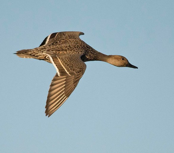 Green Winged Teal 2017-23