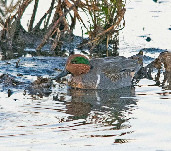 Green Winged Teal 2017-26