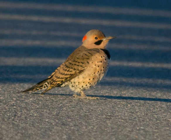 Northern Flicker 2017-8