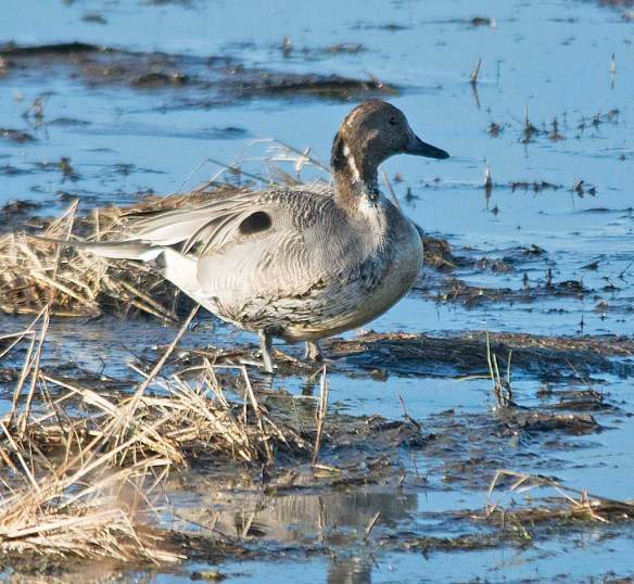 Northern Pintail 2017-37