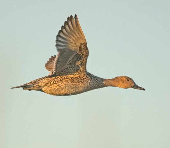 Northern Pintail 2017-40