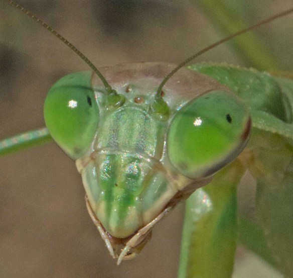 Praying Mantis 53