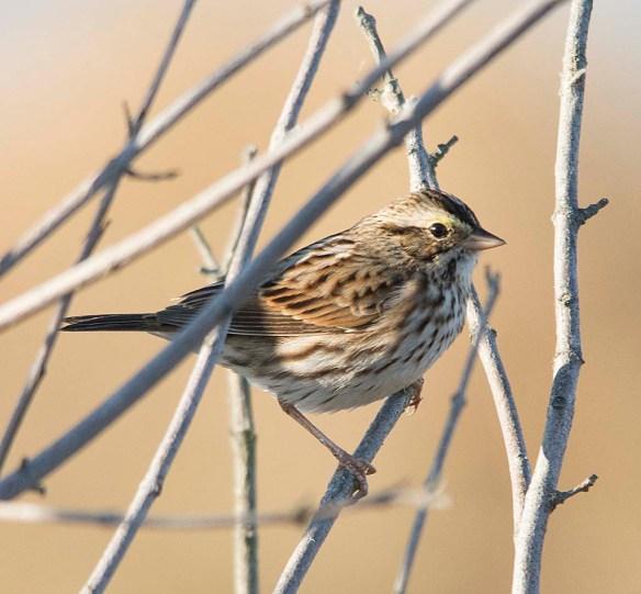 Savannah Sparrow 2017-8