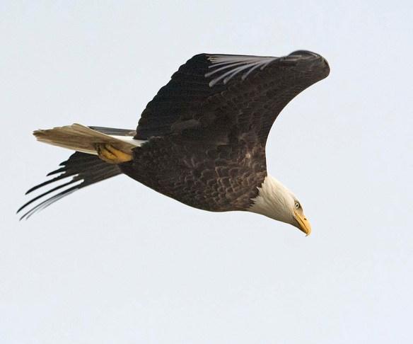 Bald Eagle 2017-202