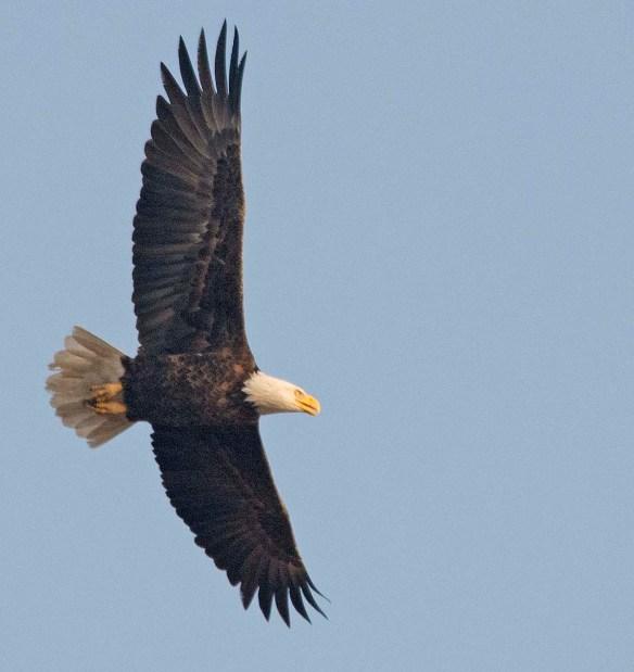 Bald Eagle 2017-204