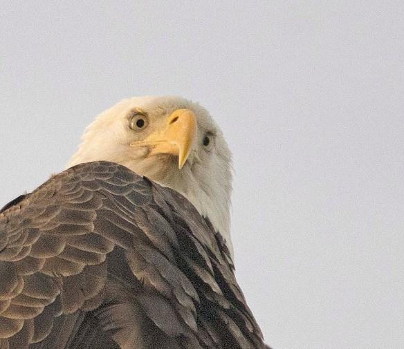 Bald Eagle 2017-209