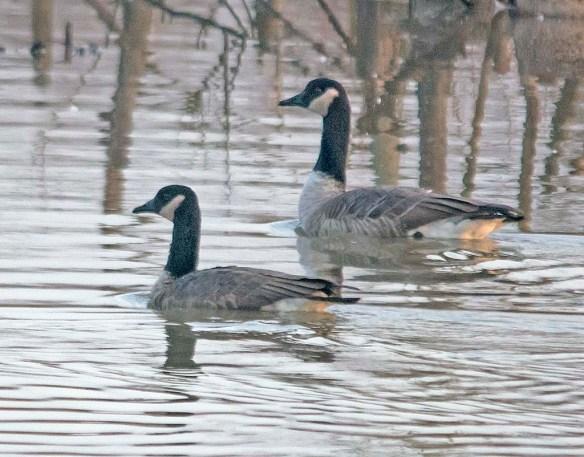 Cackling Goose 2017-9