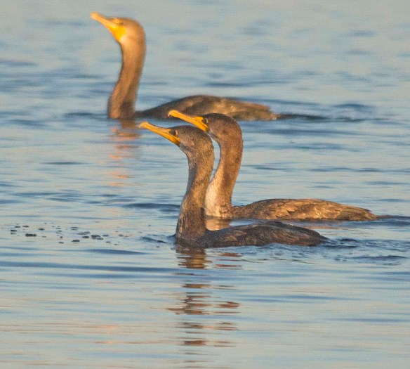 Double Crested Cormorant 2017-116