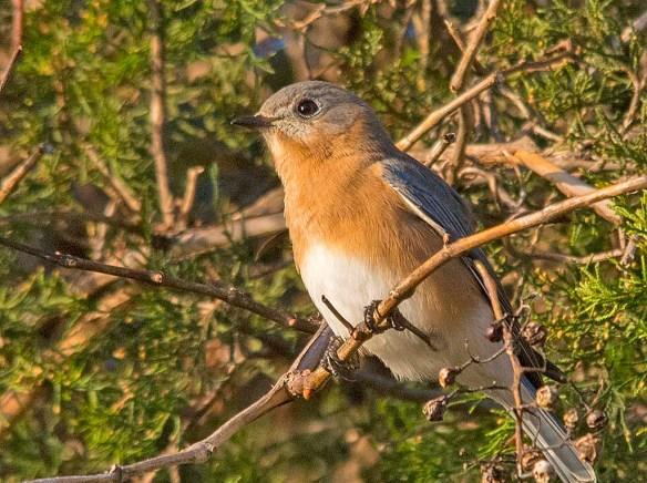 Eastern Bluebird 2017-14