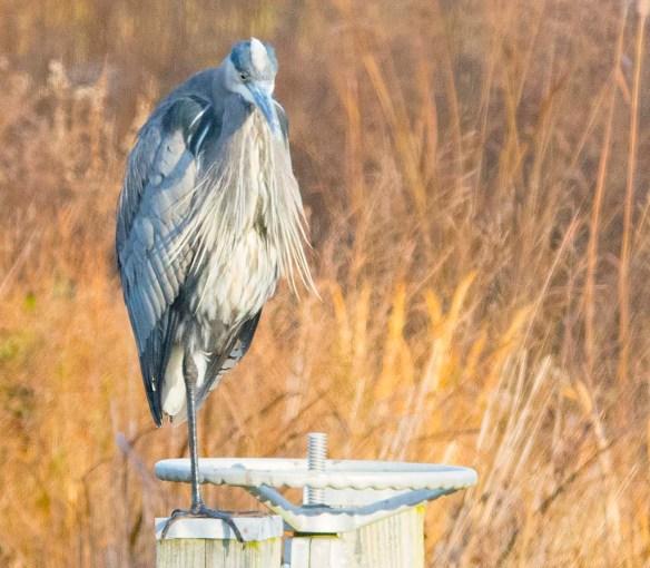 Great Blue Heron 2017-125