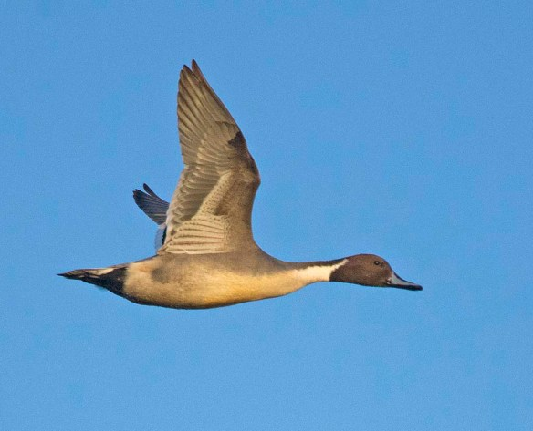 Northern Pintail 2017-57