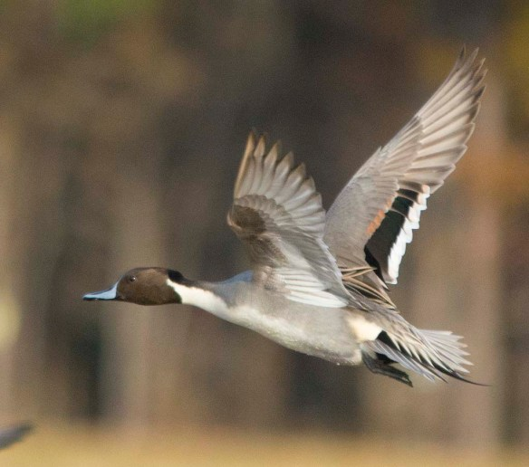 Northern Pintail 2017-60