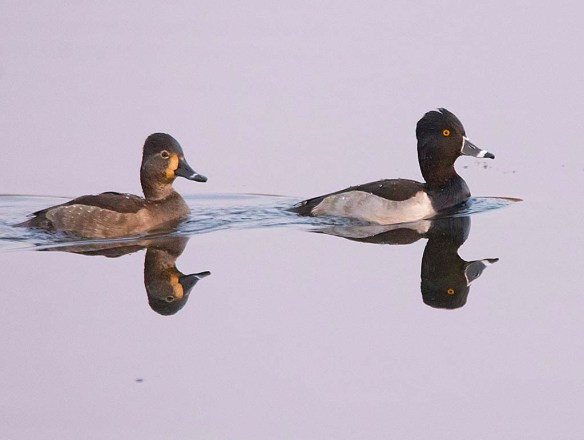 Ring Necked Duck 2017-16