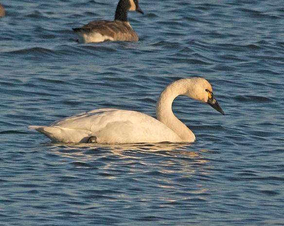 Tundra Swan 2017-67