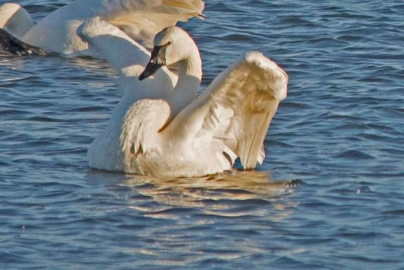 Tundra Swan 2017-68