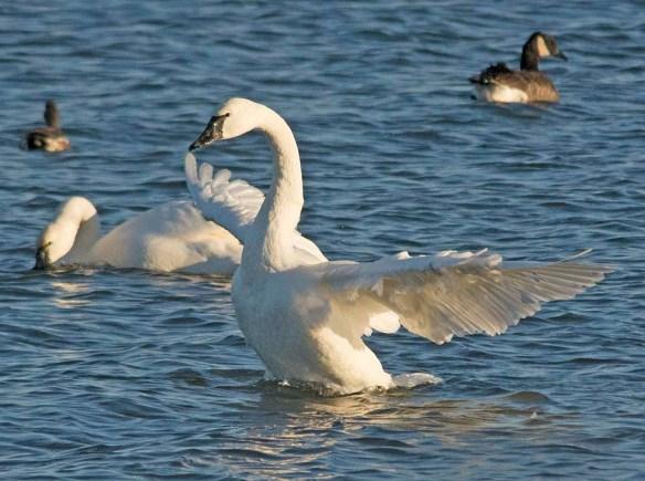 Tundra Swan 2017-69