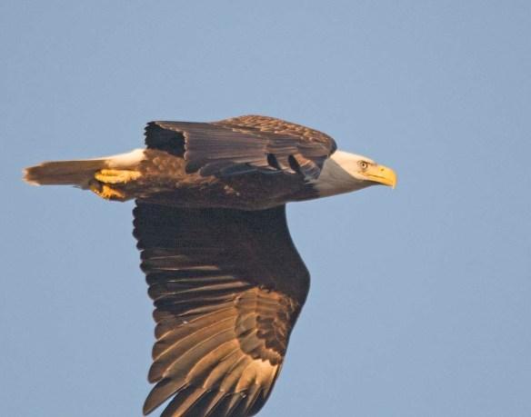 Bald Eagle 2017-221