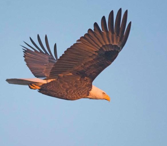 Bald Eagle 2017-224