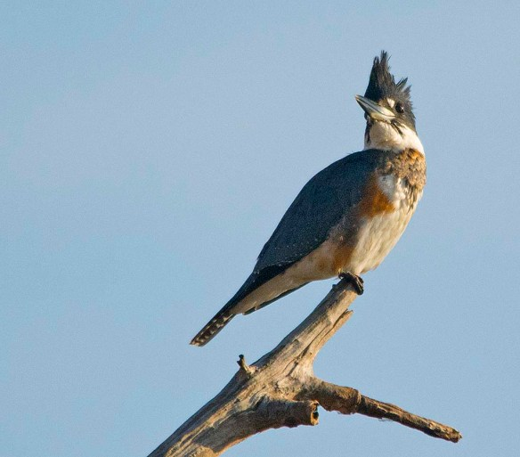 Belted Kingfisher 2017-38