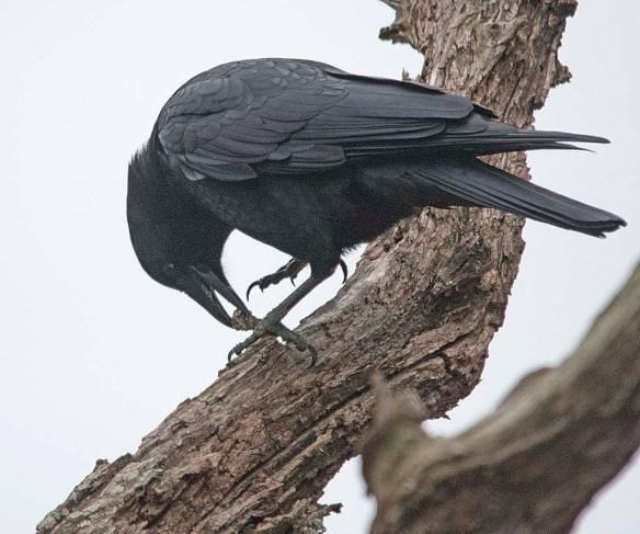 Crow 2017-7