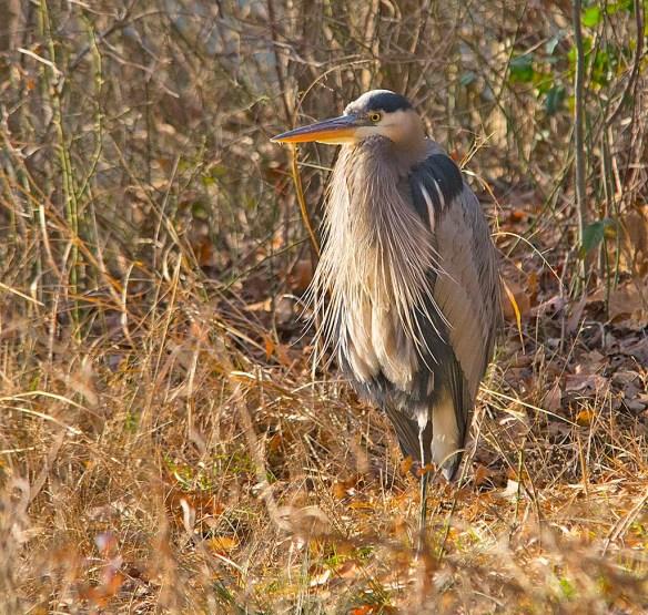 Great Blue Heron 2017-131