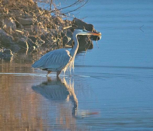 Great Blue Heron 2017-135