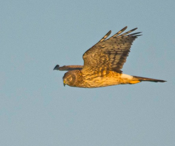 Northern Harrier 2017-19