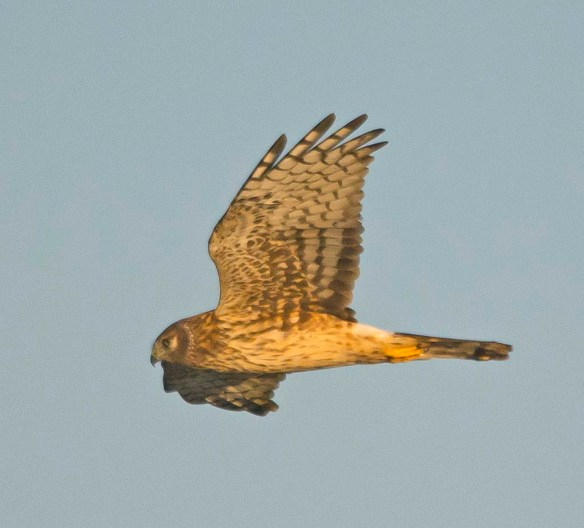 Northern Harrier 2017-21