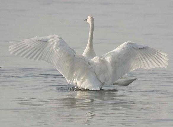 Tundra Swan 2017-74