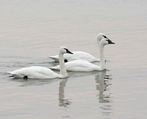 Tundra Swan 2017-88