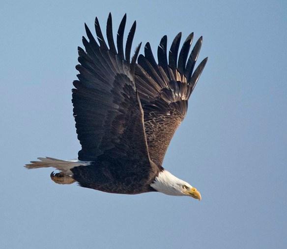 Bald Eagle 2018-2