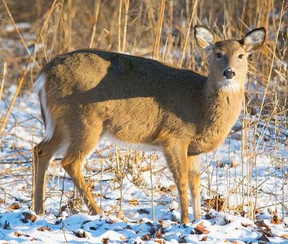 Deer-69