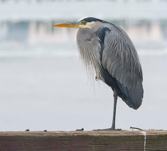 Great Blue Heron 2018-1